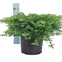 Можжевельник прибрежный - Juniperus conferta Schlager (диаметр 20-30 см, горшок 2л)
