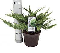 Можжевельник казацкий - Juniperus sabina Tamariscifolia (высота 15-20 см, горшок 2л)