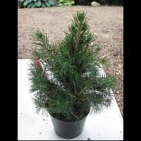 Ель обыкновенная - Picea abies Tompa (диаметр 15-20 см, горшок 5л)
