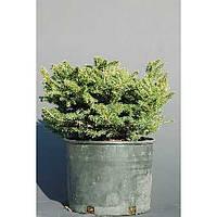 Ель обыкновенная - Picea abies Elegans (диаметр 30 см, горшок 5л)