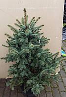 Ель голубая (колючая) - Picea pungens Blue Triket (высота 80-100 см, горшок 20л)