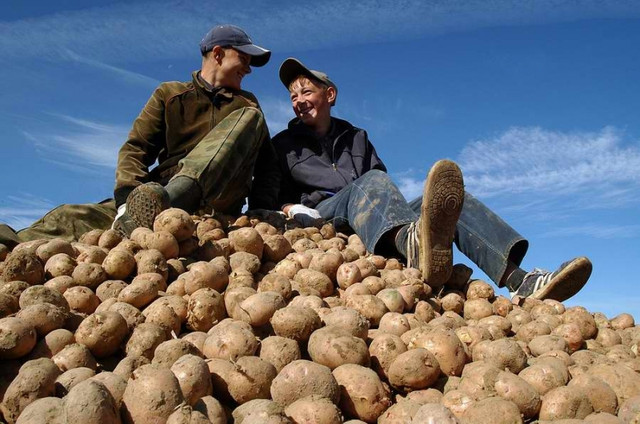 Около 98% картофеля в Украине производится населением
