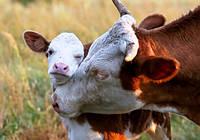 Голландцы научили украинцев общаться с коровами