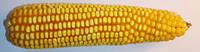 Гибрид кукурузы Оржиця 237 МВ среднеранний