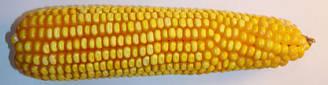 Семена гибрида кукурузы Оржиця 237 МВ среднеранний