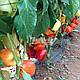 Семена Перец Оида F1 250 семян Clause, фото 2