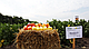 Семена перца Никита F1 \ Nikita F1 50 грамм  Clause , фото 6