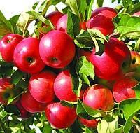 Саженцы яблони Айдаред Зимний сорт