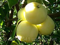 Саженцы яблони Снежный кальвиль Зимний сорт