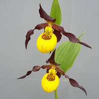 "Cypripedium ""Chauncey"""