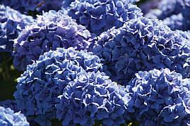 Гортензія крупнолиста морозостійка Endless Summer 2 річна, Гортензия крупнолистная, Hydrangea macrophylla, фото 3