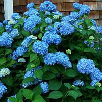 Гортензія крупнолиста голуба 1 річна, Гортензия крупнолистная / садовая, Hydrangea macrophylla