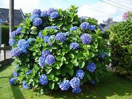 Гортензія крупнолиста голуба 1 річна, Гортензия крупнолистная / садовая, Hydrangea macrophylla, фото 3