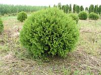 Туя западная Глобоза С2 (Thuja  occidentalis Globosa), фото 1