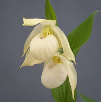 "Cypripedium ""Bernd white"""