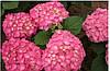 Гортензія крупнолиста морозостійка Bailmer 2 річна, Гортензия крупнолистная Bailmer, Hydrangea macrophylla, фото 2