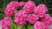 Гортензія крупнолиста рожева 1 річна, Гортензия крупнолистная / садовая, Hydrangea macrophylla