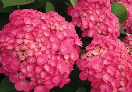Гортензія крупнолиста малинова 2 річна, Гортензия крупнолистная / садовая, Hydrangea macrophylla, фото 2