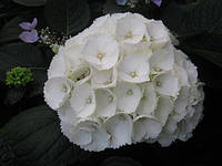Гортензія крупнолиста біла 2 річна, Гортензия крупнолистная / садовая, Hydrangea macrophylla
