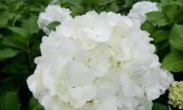 Гортензія крупнолиста біла 1 річна, Гортензия крупнолистная / садовая, Hydrangea macrophylla, фото 3