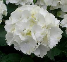 Гортензія крупнолиста біла 1 річна, Гортензия крупнолистная / садовая, Hydrangea macrophylla, фото 2