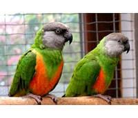 Сенегальский попугай – продажа птенцов и сформированных пар