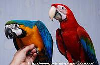 Ара макао – птенцы собственного разведения