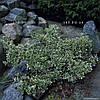 Бересклет Форчуна 'Emerald Gaiety' в горшке 9х9х10 см