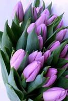 Тюльпан  фиолетовый Alibi
