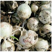 Вайт Опера F1 семена лука репчатого среднего Cora Seeds 1 000 семян