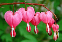 Саженцы Dicentra Rose (разбитое сердце)