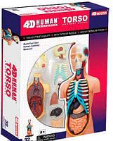 Объемная анатомическая модель Торс человека, 4D Master