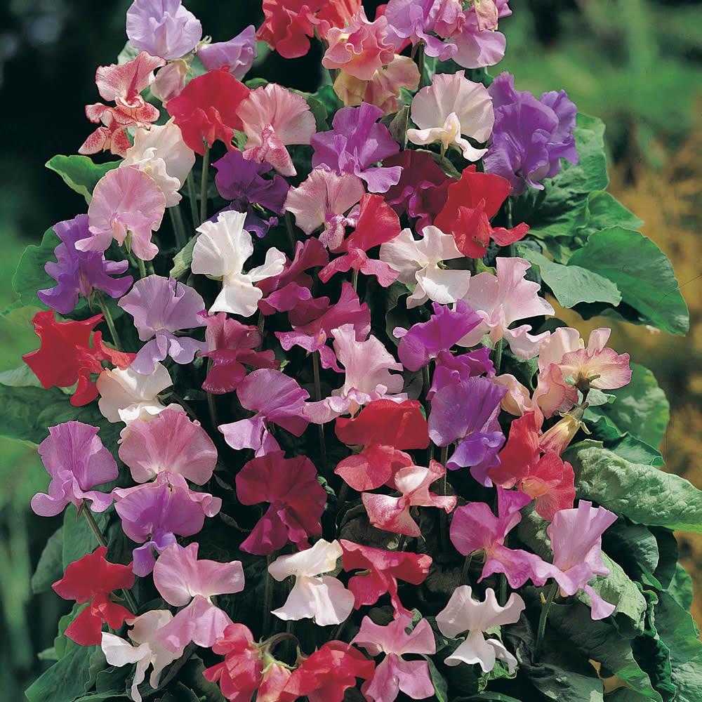 Горошек душистый, смесь цветов 1г