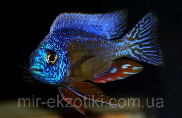 Протомелас спец стевени тайвань риф (Protomelas spec. 'steveni Taiwan Reef)