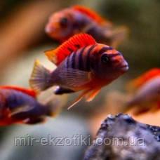 Лабидохромис Хонги ( Labidochromis spec. 'Hongi')