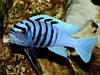 Галерея Риф (Cynotilapia Gallireya Reef)