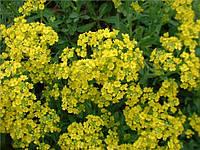 """Алиссум скальный """"Золотая пыльца"""" /0,2г/ СУ, фото 1"""