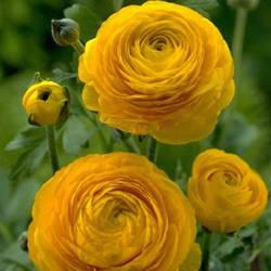 Ранункулюс Aviv Yellow (1 шт.)
