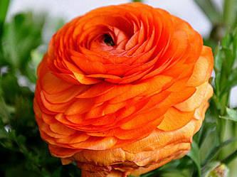 Ранункулюс Aviv Orange (1 шт.)
