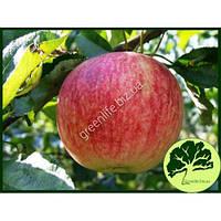 Яблоко летнее Слава победителям