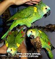 В продаже ручные попугаи Амазоны