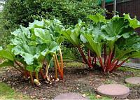 Ревень Виктория семена раннеспелого сорта тёмно-зелёного цвета