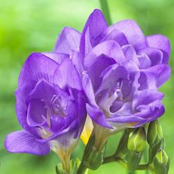 Фрезия Double Blue (1 шт.)