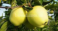 Яблоня ГОЛДЕН ДЕЛИШЕС (Golden Delicious), фото 1