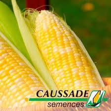 Семена кукурузы Гарни КС / Гарні КС ФАО 190, Франция, фото 2
