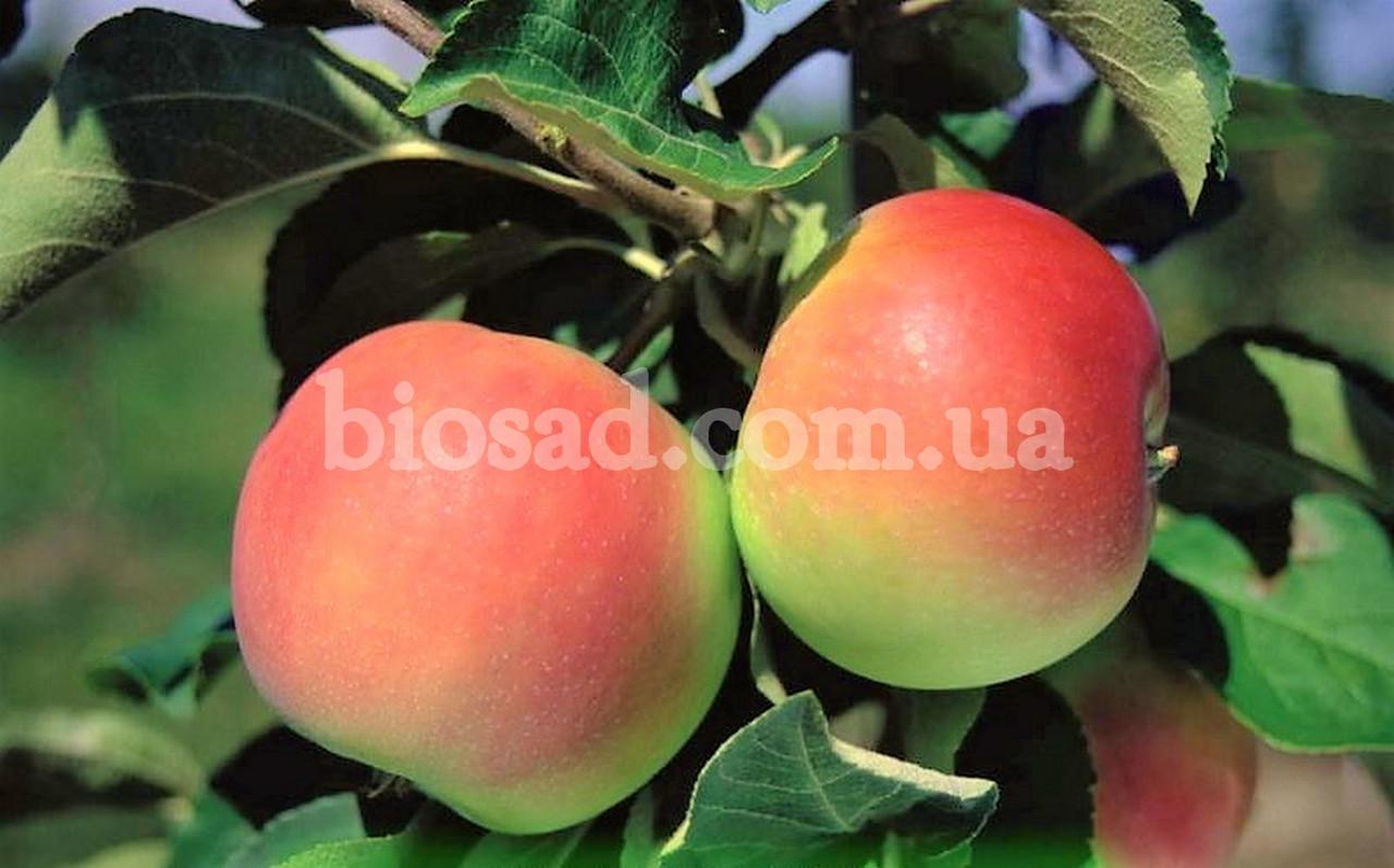 Яблоня Флорина: описание сорта, фото, характеристики
