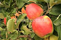 Яблоня ЛИГОЛ (Ligol)