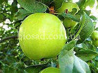 Яблоня МУТСУ (Mutsu), фото 1
