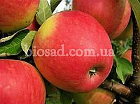 Яблоня ПИНОВА (Pinova), фото 1