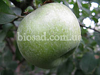 Яблоня СИМИРЕНКО, фото 1